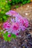 Rosa magentafärgade blommor Arkivbild