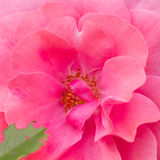Rosa 'Magic Pink'. Close-up of a beautiful pink rose Stock Image