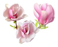 Rosa magnolia Royaltyfria Bilder