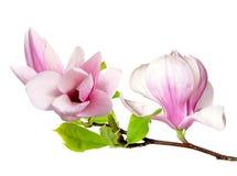 Rosa magnolia Fotografering för Bildbyråer