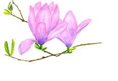 Rosa magnolia Arkivfoto