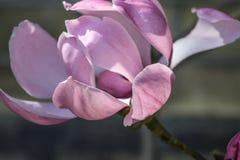 Rosa magnolia Arkivbild
