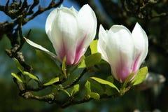 Rosa magnolia Arkivbilder