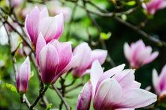Rosa magnolia Royaltyfria Foton
