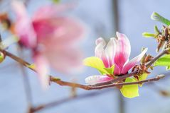 Rosa magnolia i natur arkivbild