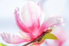 Rosa magnolia i natur royaltyfria foton