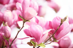 Rosa magnoliablomma Royaltyfri Foto