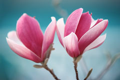 Rosa magnoliablomma Royaltyfria Foton