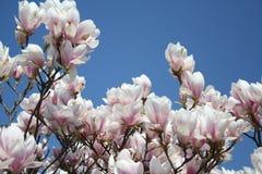 Rosa magnoliablommor Fotografering för Bildbyråer