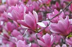 Rosa magnoliablommor för blomning Arkivbilder