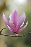 Rosa magnoliablommor för blomning Arkivbild
