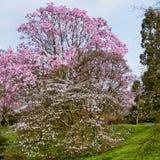 Rosa magnoliablomning Arkivfoton