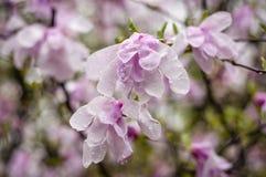 Rosa magnoliapar Fotografering för Bildbyråer