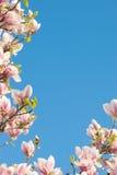 Rosa magnoliaträd med ljus blå himmel Arkivfoto