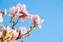 Rosa magnoliaträd med ljus blå himmel Fotografering för Bildbyråer