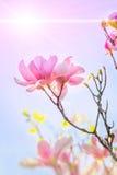 Rosa Magnolie Stockbild