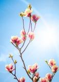 Rosa Magnolie Stockfoto