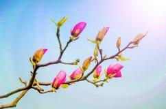 Rosa Magnolie Stockbilder