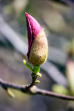 Rosa Magnolienblütenknospe Stockfoto