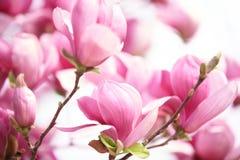Rosa Magnolienblume Lizenzfreies Stockfoto