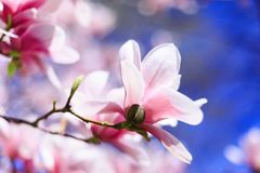 Rosa Magnolienblume auf Hintergrund des blauen Himmels, mit flacher Tiefe Lizenzfreies Stockfoto