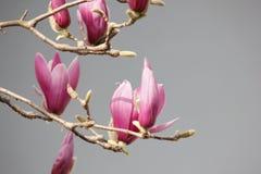 Rosa Magnolienblume, die auf der Niederlassung blüht Lizenzfreies Stockbild