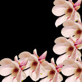 Rosa Magnolienniederlassungsblumen, Abschluss oben, Blumengesteck, lokalisiert Lizenzfreie Stockfotografie