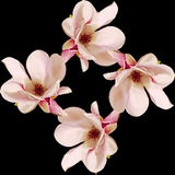 Rosa Magnolienniederlassungsblumen, Abschluss oben, Blumengesteck, lokalisiert Stockfotografie