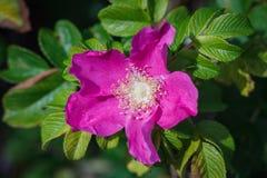 Rosa majalis, Rozebottelbloem groeit op een zonnige de zomerdag met groene bladeren royalty-vrije stock foto's