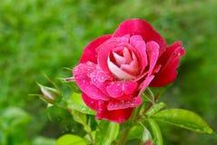 Rosa Majora Royalty Free Stock Photography