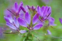 Rosa Makro Blumen des Cleome/der Spinne kurz Lizenzfreies Stockfoto