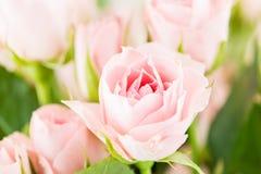 Rosa makro för buske arkivbild