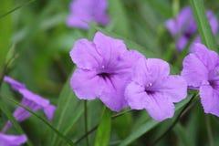 Rosa Malan blomma fotografering för bildbyråer