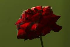 Rosa malata Fotografia Stock