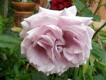 Rosa malva Fotos de Stock