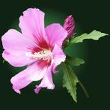 Rosa malvablomma med knoppar Arkivfoto