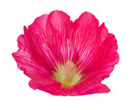 Rosa malvablomma på vit Royaltyfri Foto