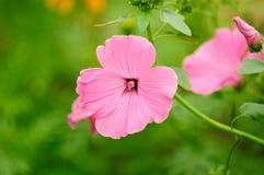 Rosa MalvaMoschata (Musk-Mallow) blommor Arkivfoton