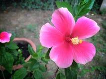 Rosa malvasilvestrisblomma Arkivbild