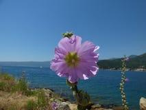 Rosa Malvenblume auf einer Bank der Kotor-` s Bucht Kotor-Stadt, Montenegro stockbild