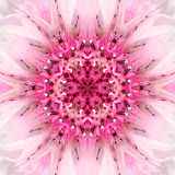 Rosa Mandala Flower Center Koncentrisk kalejdoskopdesign Fotografering för Bildbyråer