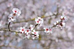 Rosa mandelblomningblommor på det tyska PrunusDulcis trädet arkivbild
