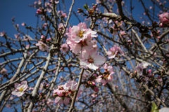 Rosa mandelträd för blomning Royaltyfria Foton