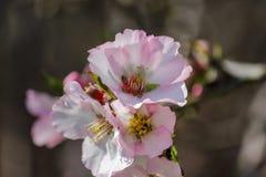 Rosa mandelträd för blomning Arkivbilder