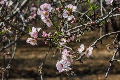 Rosa mandelträd för blomning Royaltyfria Bilder
