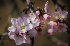 Rosa mandelträd för blomning Royaltyfri Bild