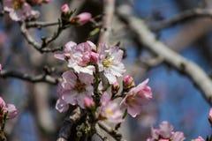 Rosa mandelträd för blomning Arkivfoto