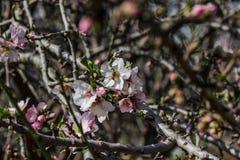 Rosa mandelträd för blomning med det lilla biet Arkivfoton