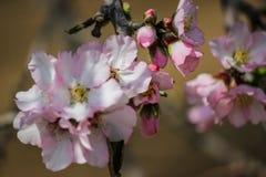 Rosa mandelträd för blomning med det lilla biet Royaltyfri Foto