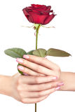 Rosa in mani femminili delicate. Fotografie Stock